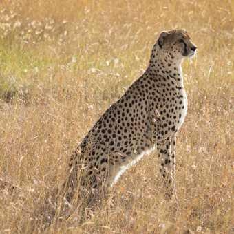 Cheetah scanning the horizon for other predators
