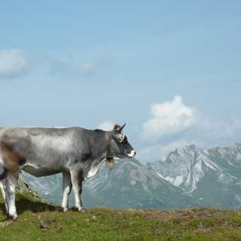 The view with a cow