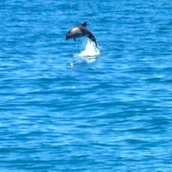 Dolphin off Cape Town