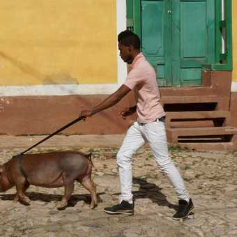 Just a'walking the pig, Trinidad