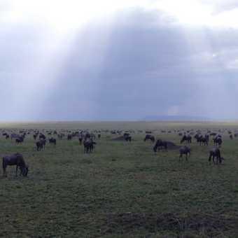 Lots of Wildebeest
