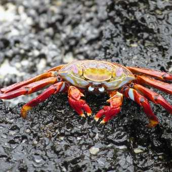 Sally Lightfoot Crab on Floreana