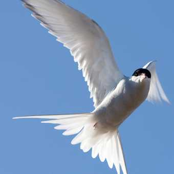 Mobbed by an Arctic Tern