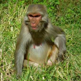 Kathmandu Monkey