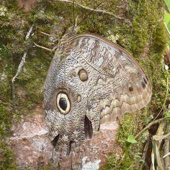 Glass frog - Laguna Lodge, Tortuguero