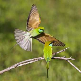 Bee eaters in action