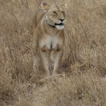 Lioness, Serengeti NP