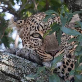 Leopard relaxation