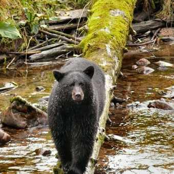 Black Bear at Ryordan 2