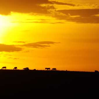 zebras in the back of a sunset