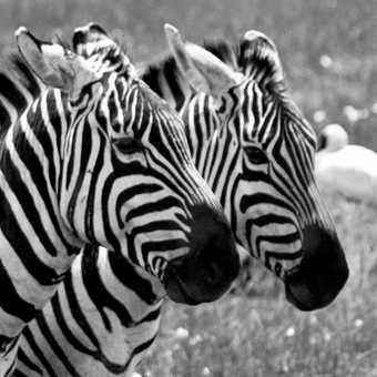 Zebras at Lake Nakuru NP