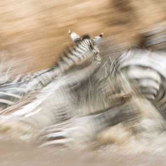 Crossing zebras