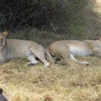 Lion cub encounter!