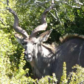 Kudu at Addo Elephant Park