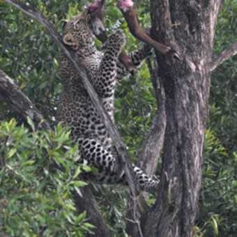 Leopard with the remains of its kill