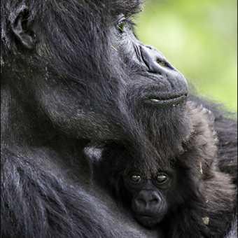 Gorilla and young