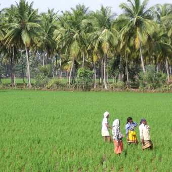 people working in the rice fields