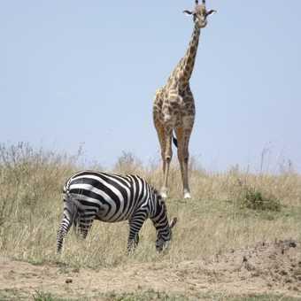 zebra and masia girraff in mara