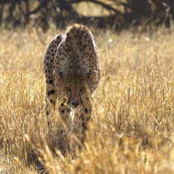Captive Cheetah Melrose Farm.