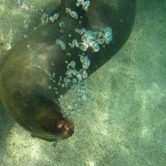 Sea Lion Blowing Bubbles