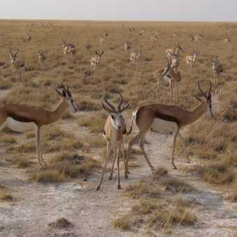 Springbok as far as the eye can see