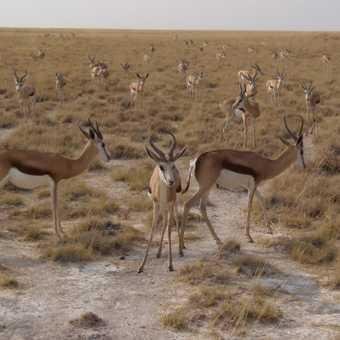 Springbok as far as the eye can see
