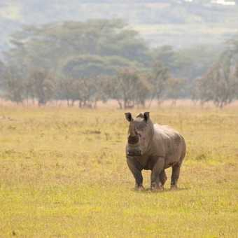 Rhino in Nakuru