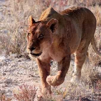 Prowling Lion