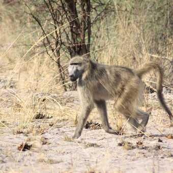 Baboon, Moremi Reserve - Okavango Delta