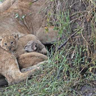 Lion cubs - 2 weeks old & 1 day old