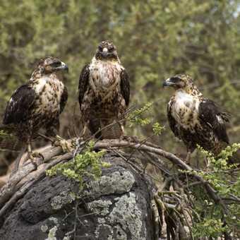 Young Galapagos Hawks