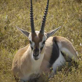 Thomsons Gazelle