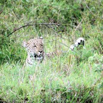 Young leopard - Masai Mara