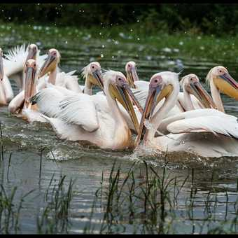 Feeding Pelicans