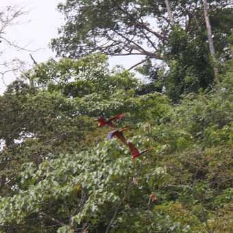 red macaw fly-by