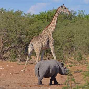 Giraffe and rhino head for cover