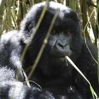 Young sub adult Gorilla.