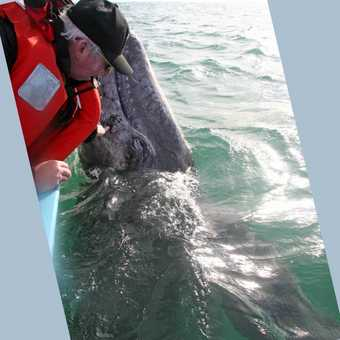 Charles and Gray whale