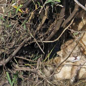 Lion cub - 1 day old