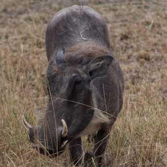 Warthog at Mburo