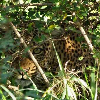 Leopard female peeking