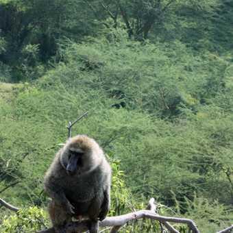 Olive baboon - Baboon Cliffs, L Nakuru