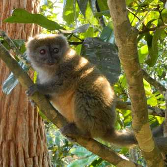 Bamboo lemur in sanctuary