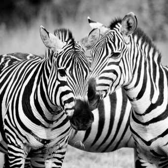 Zebra - B/W
