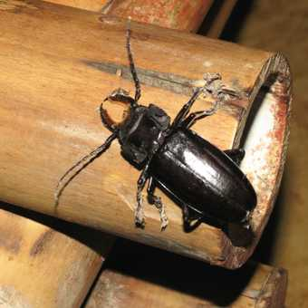 Long-horned Beetle - Villas Gaia