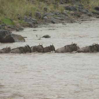 migrating across the Mara River