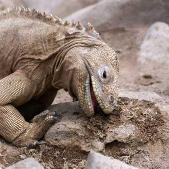 Land Iguana - skin tight!