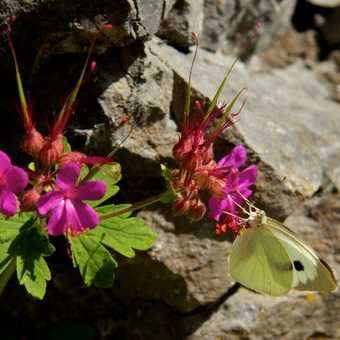 Butterflies - Large White