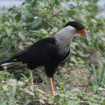A rather handsome crested caracara
