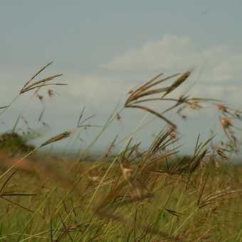 The blowing grasses